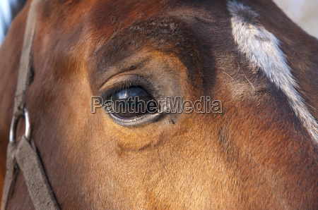 eye of a brown horse with