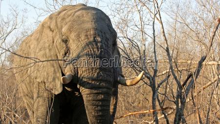 adult elephant bull sabi sands game