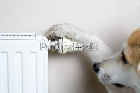 dog adjusting comfort temperature on radiator