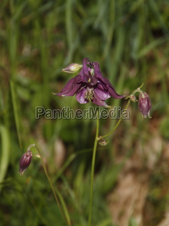 wild mountain orchid