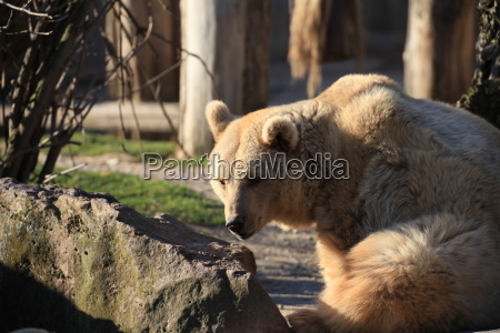 syrian brown bear in close up