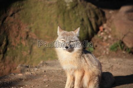 steppe fox in closeup