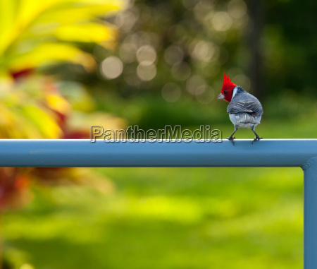red crested cardinal on fence in