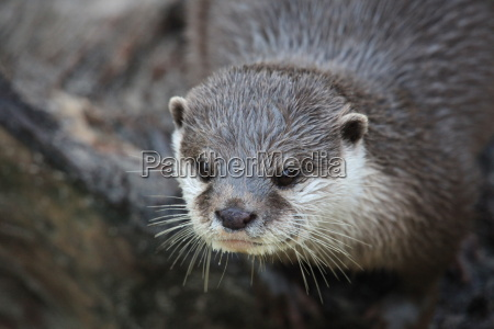 short clawed otter in close up