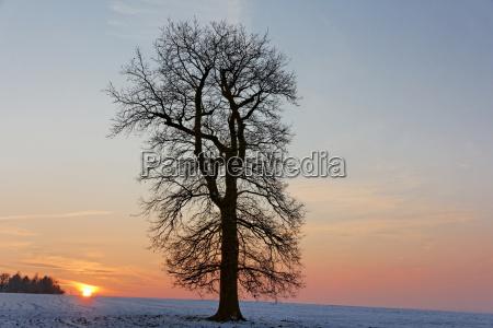 tree winter sunset field oak meadow
