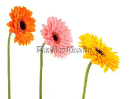 collection gerbera daisy