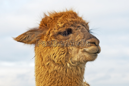 alpaca vicugna pacos