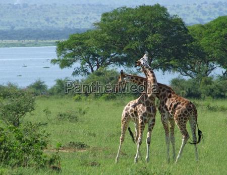 giraffes at fight in africa