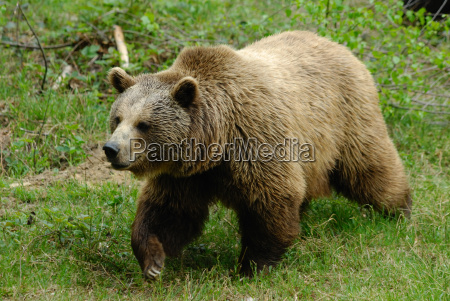 brown bear in bavarian forest national