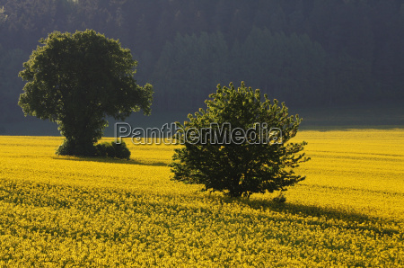tree field spring may scenery countryside