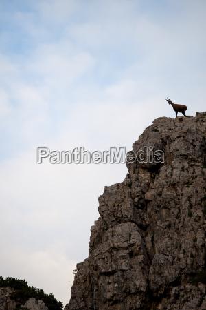 gams in the italian alps
