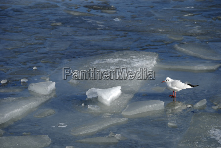black headed gull on ice floes