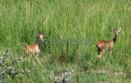 uganda kobs in high grassy ambiance