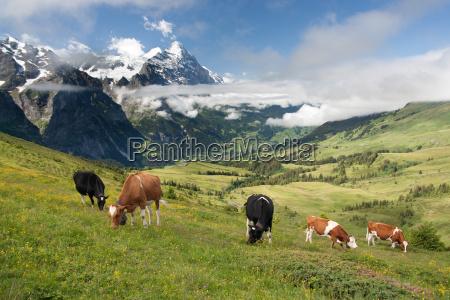 cows in alps switzerland