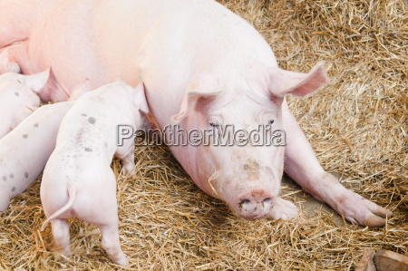 pig feeds small pink pigs