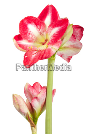 amaryllis plant with flowers against white