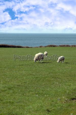 sheep and lamb grazing on coastline