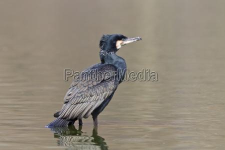 kormoran phalacrocorax carbo