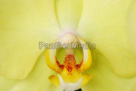 macro green orchid head