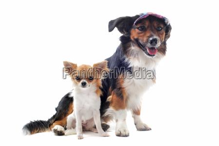 puppy chihuahua and corgi