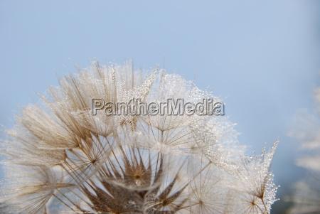 balance a dandelion