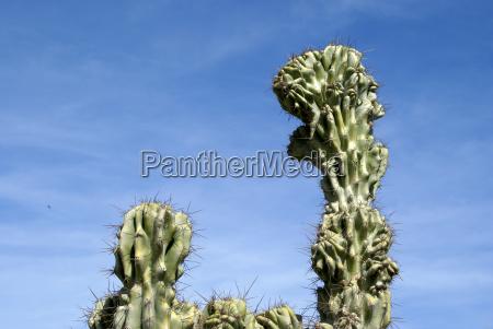 prickly affair