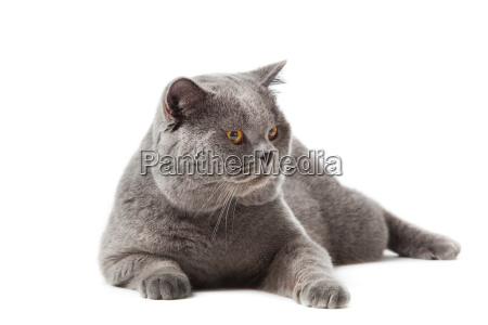 british shorthair cat on a white