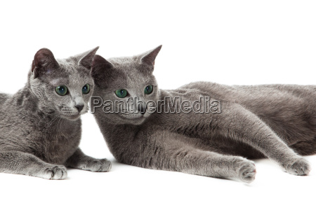 russian blue cat on white