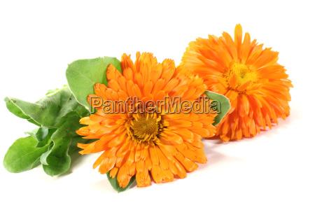 two orange marigold