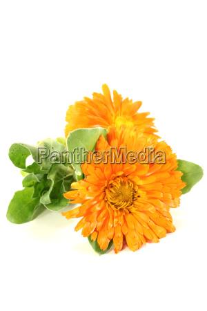 orange marigold flowers with leaves