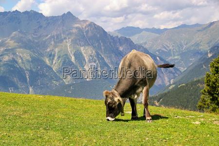 almkuh alp cow 18