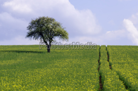 field and tree