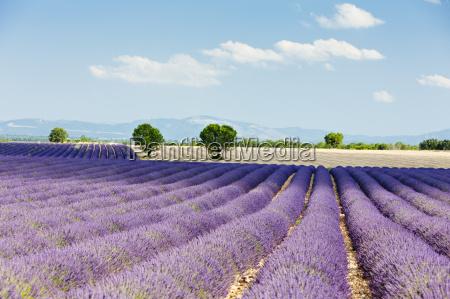lavender field plateau de valensole provence