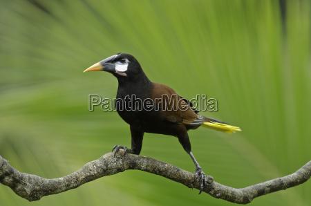 bird animals birds costarica lagunadelagarto montezumastirnvogel