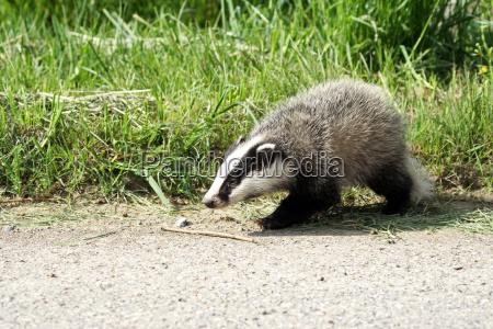badgermeles meles