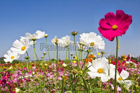blooming cosmos flower garden