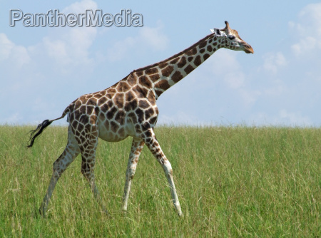 walking giraffe in african grassland