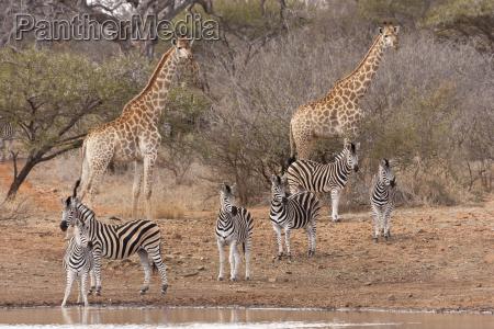 south african giraffe g c giraffa