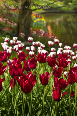 burgundy red and white tulips in