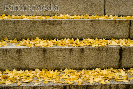 yellow ginkgo leaves on stairs in