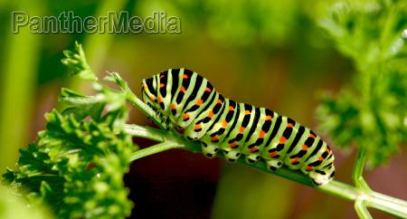 swallowtail caterpillar