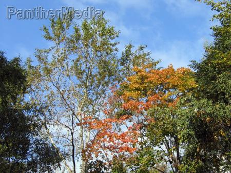 crones of autumn trees