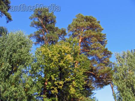 crones of coniferous trees
