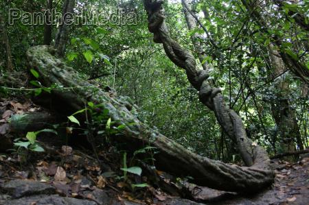 liana tree