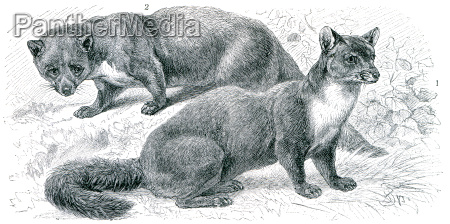 shows the european pine marten mustela