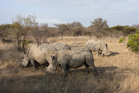 white rhinoceros ceratotherium simum