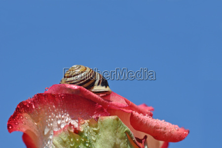 rose and snail