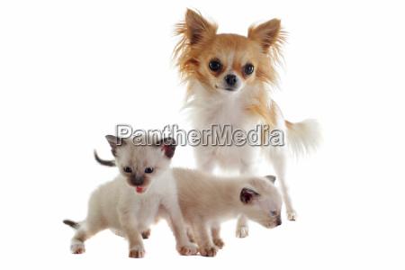 chihuahua and siamese kitten