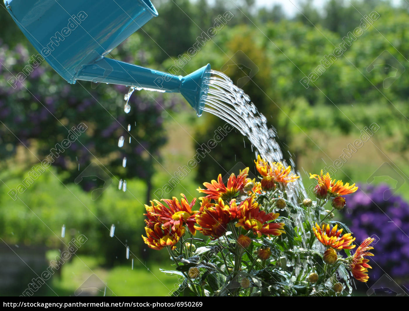 Watering Can Stock Photo 6950269 Panthermedia Stock