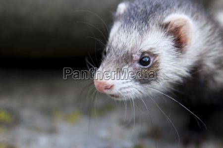 zoomed ferret face who thinking about